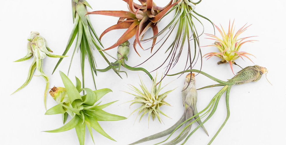 Airplant collection- Small