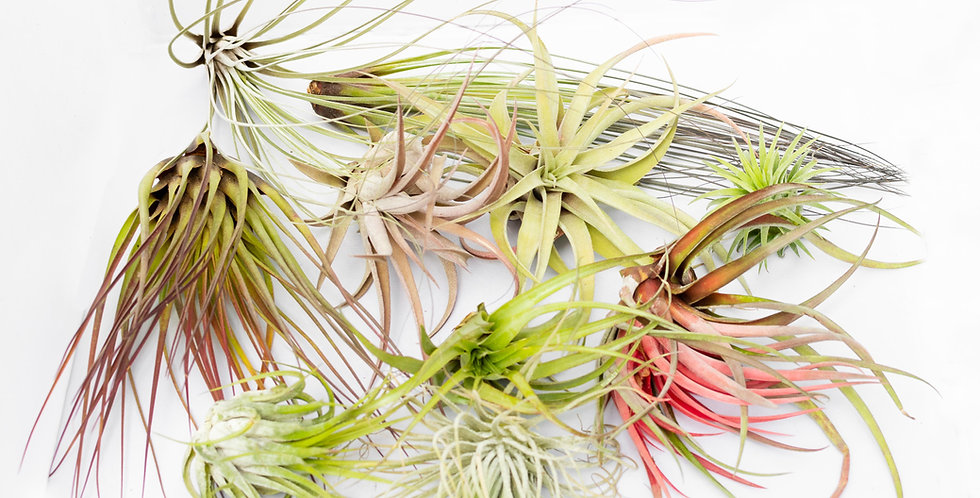 Airplant Collection- Large