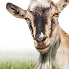 goat%203_edited.jpg