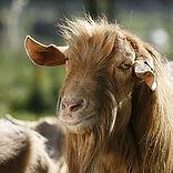 goat 10.jpg