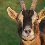 goat 9.jpg