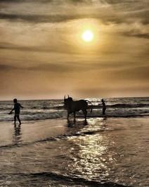 When the sacred bulls swim, Goa
