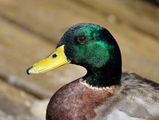 Duck Calls