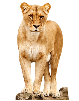 female-lion-standing-png-14.png