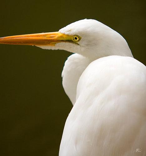 One Egret