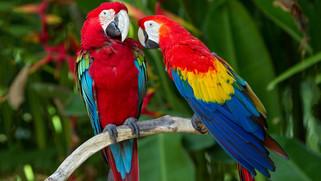 Les perroquets de la Floride