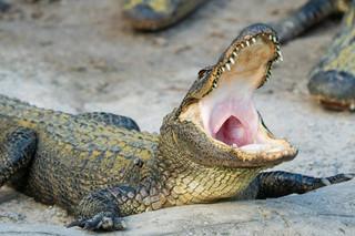 Les alligators