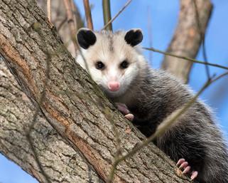 Les opossums