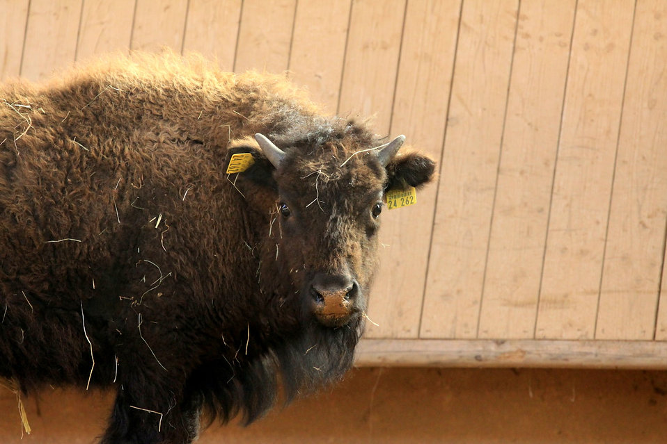 Bison schaut in die Kamera