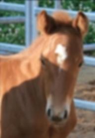 Quarter Horse Stute Royal Sugar Boon