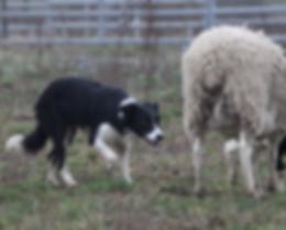 Border Collie Rüde Mikey arbeitet eine Herde Angus Rinder