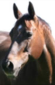 Quarter Horse Stute Lin D Quest