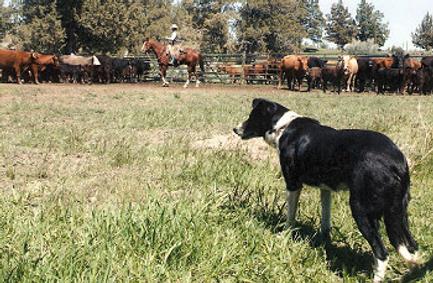 Border Collie bei der Ranch Arbeit