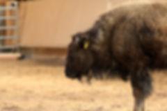 Bison Kopf von der Seite