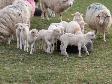 Forest Sheep Ram Lambs for sale