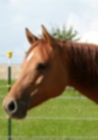 Quarter Horse Stute Freckled Curly Sue