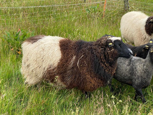 Training sheep for sale