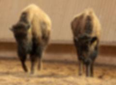 Bisons laufen