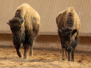 Die Bisons sind zurück
