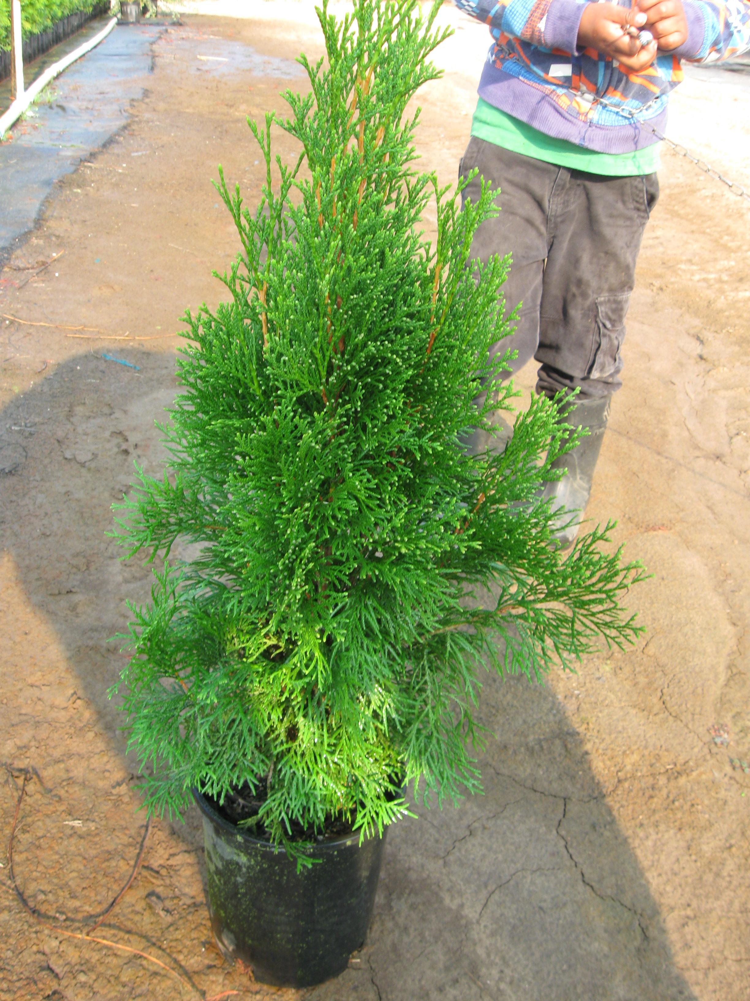 Arborvitae 1 gal