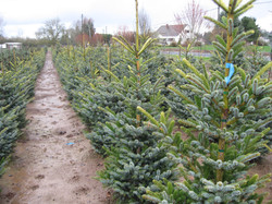 """Picea A. """"Tiger Tail"""""""