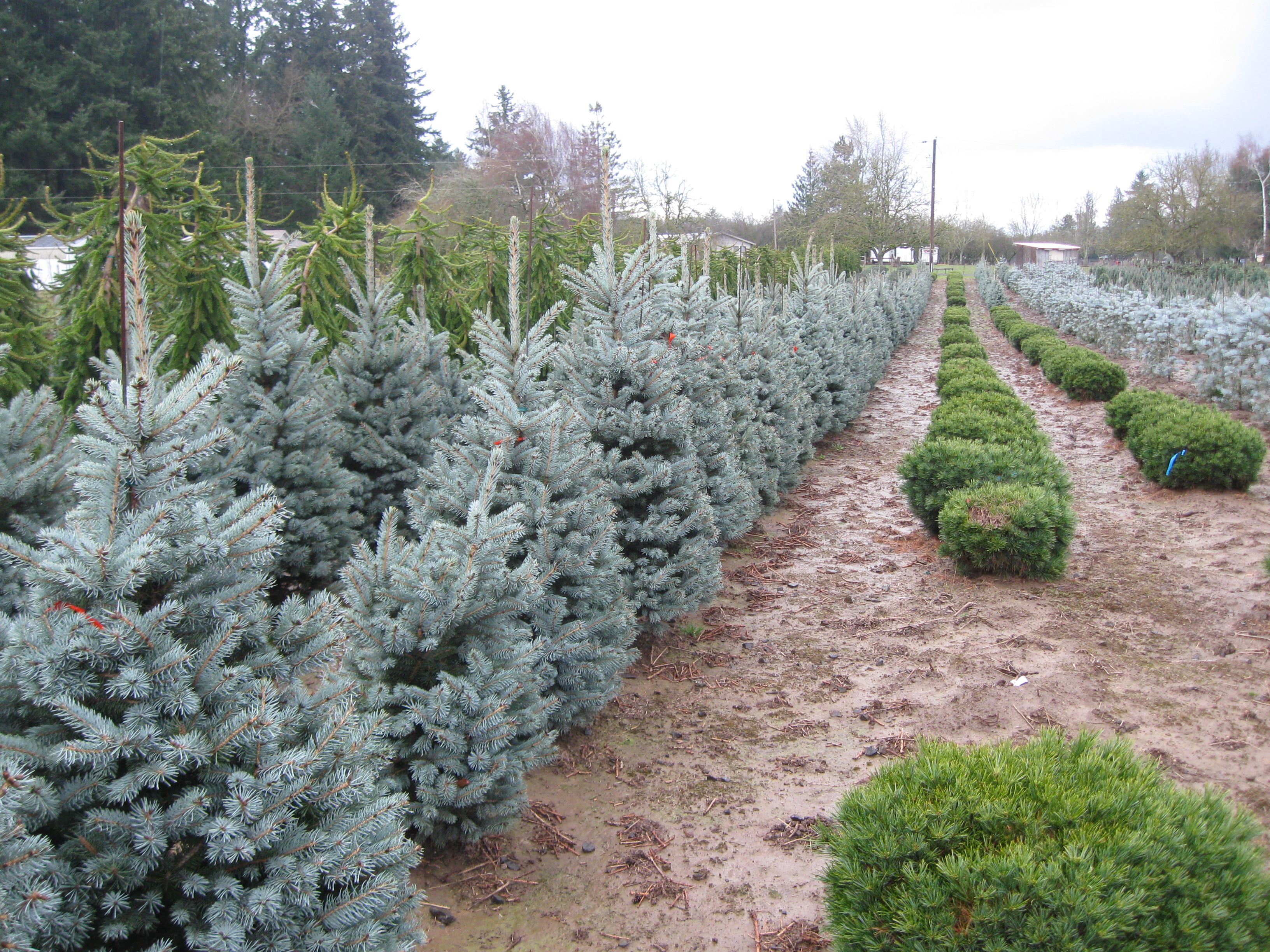 "Picea p. ""Fat Albert"""