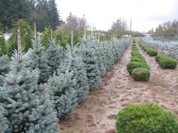 "Picea p. ""Fat Albert"""