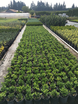 Buxus M. 'Green Beauty'