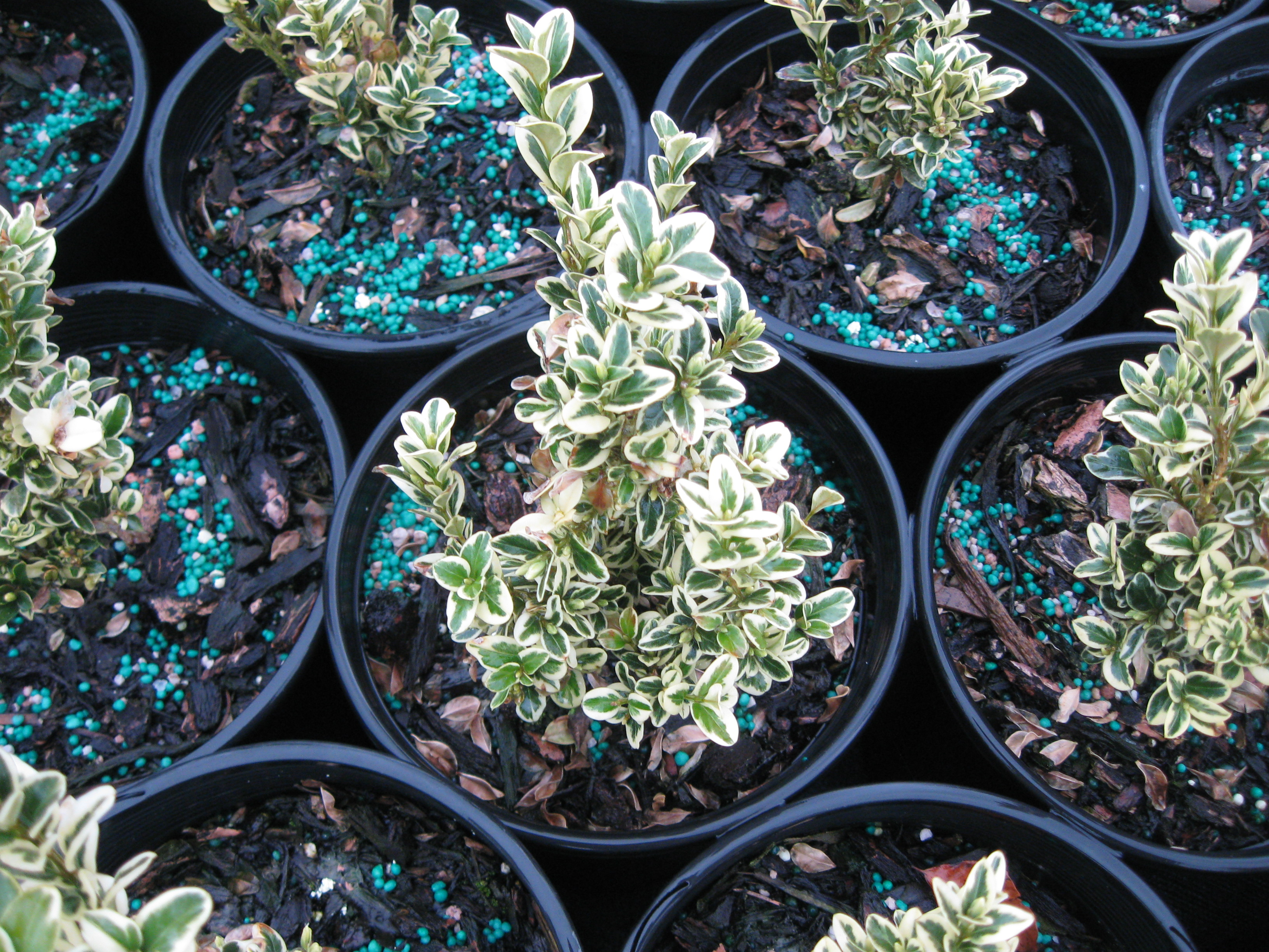 Buxus S.  'Aureovariegata'