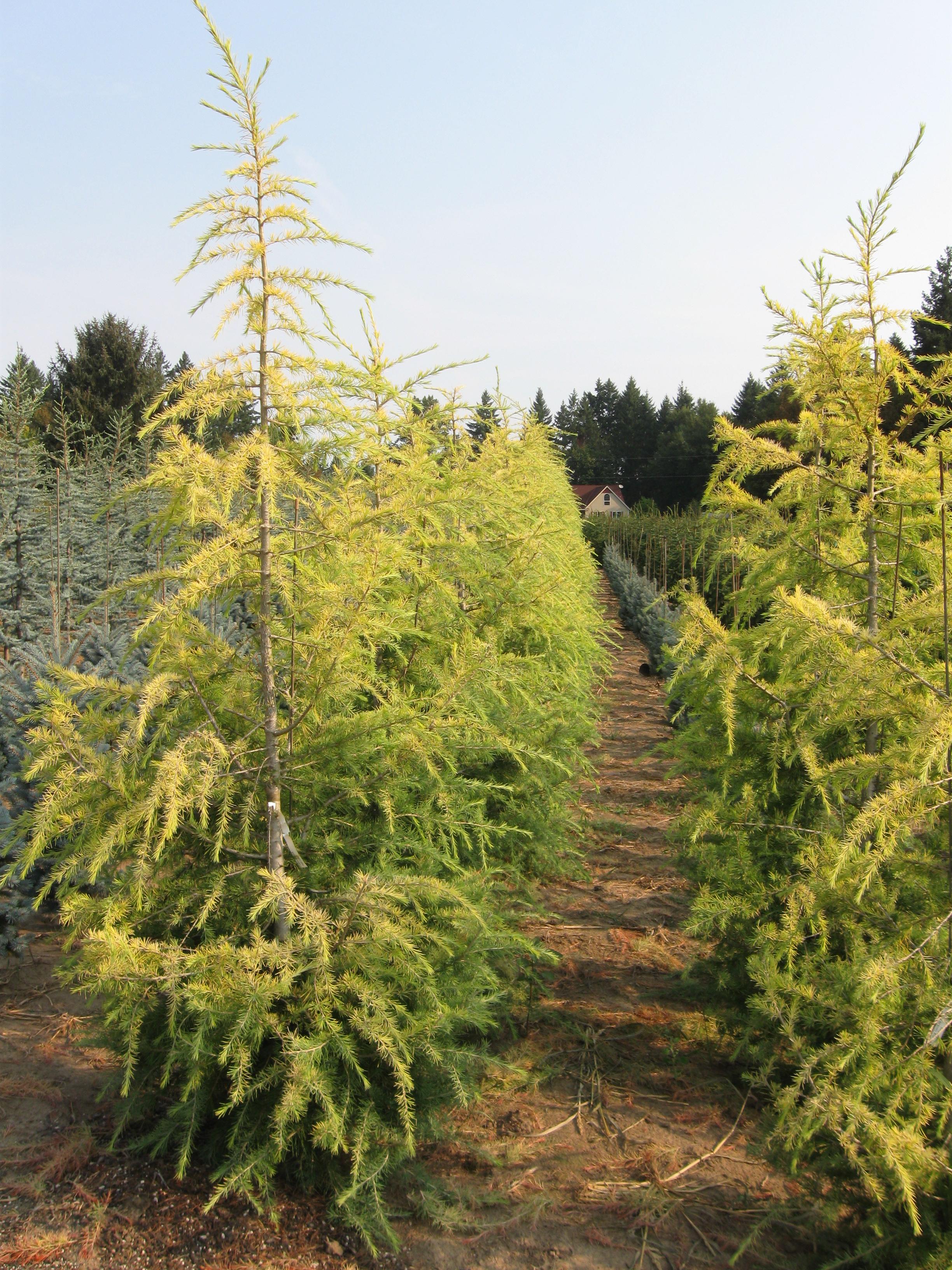Gold Cascade Cedar