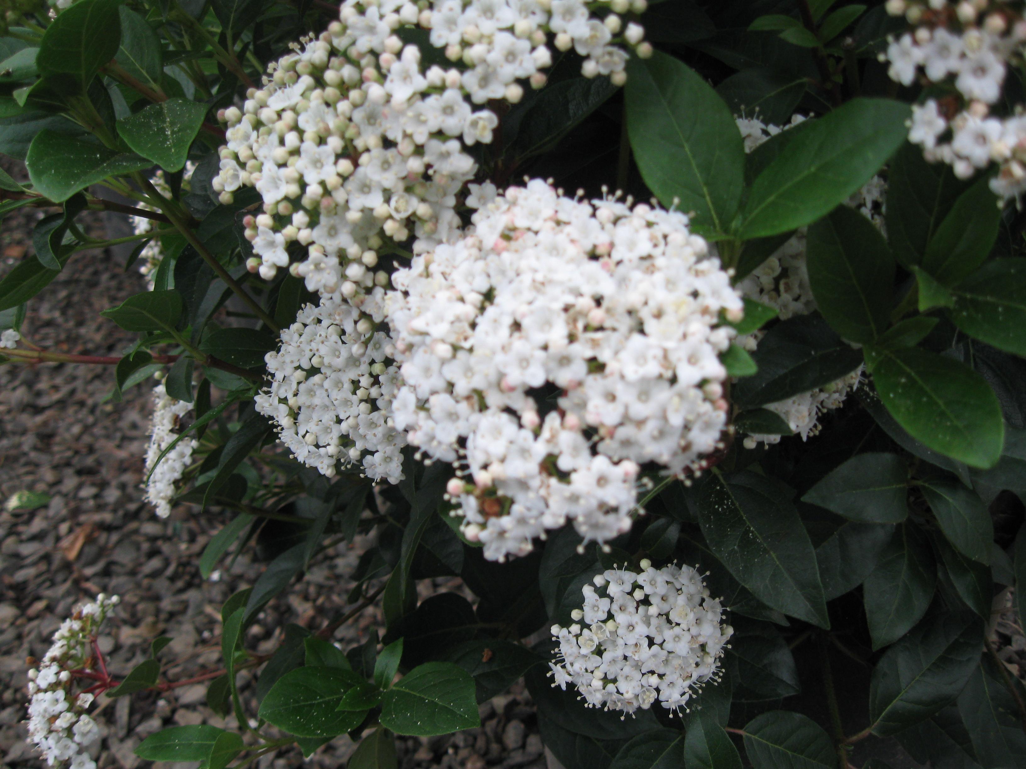 Viburnum Tinus Spring Bouquet