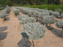 "Picea p. ""Glauca Globosa"""