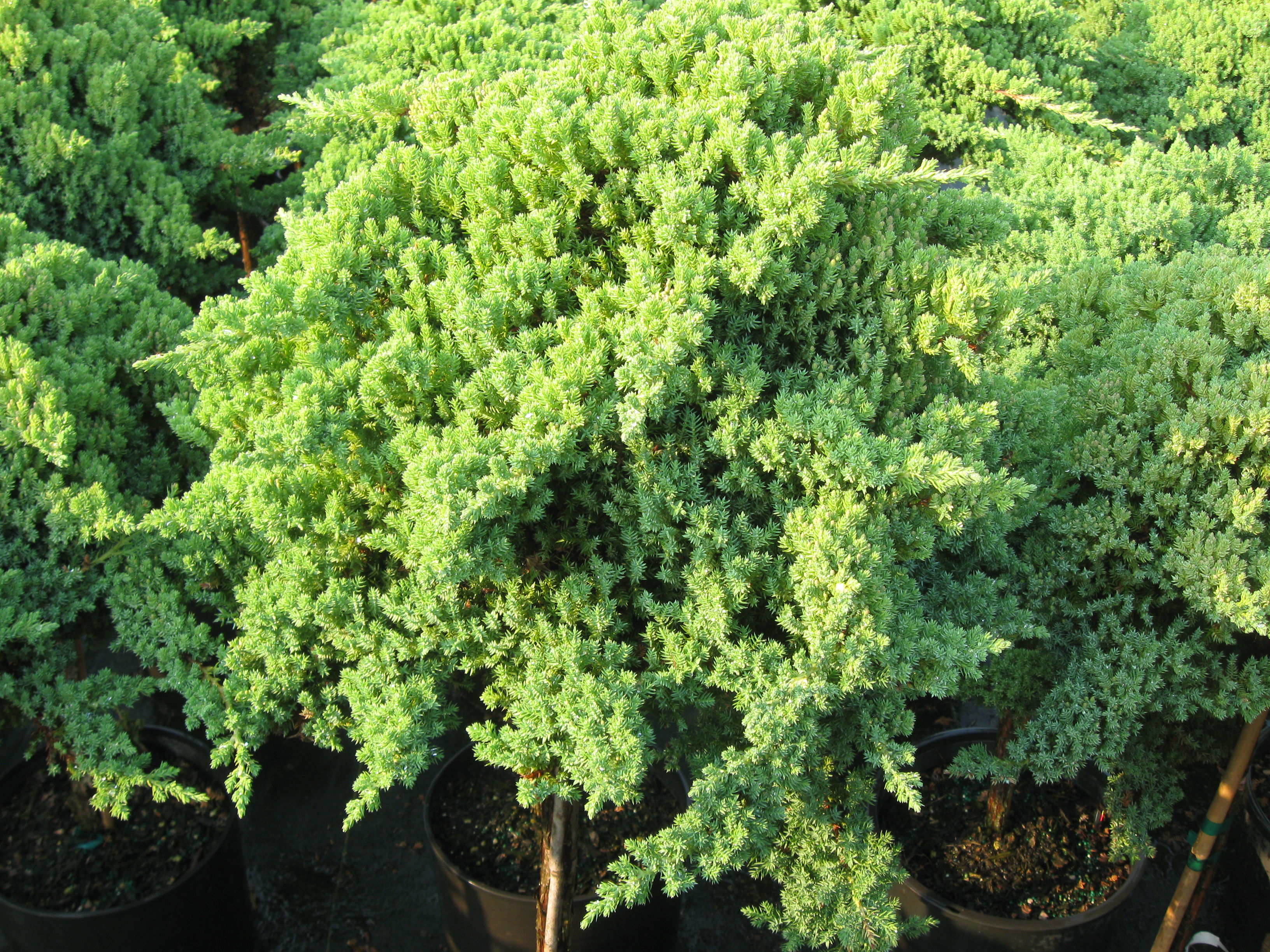 "Junipers Procumbens ""Nana"""