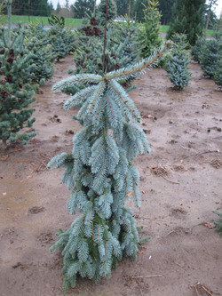 """Picea p. """"Blue Mountain Pendula"""""""