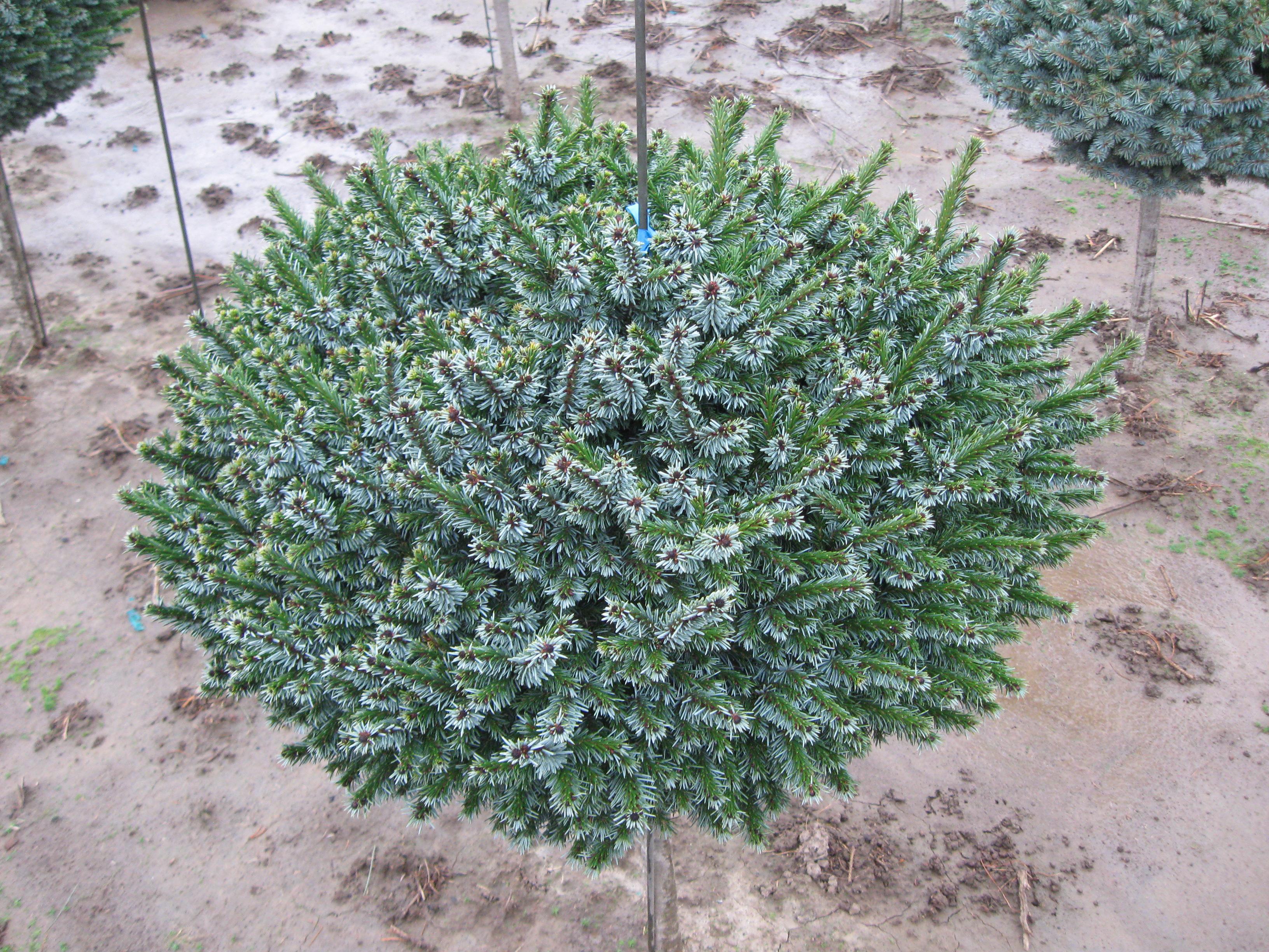 """Picea O. """"Hexenbesen"""""""
