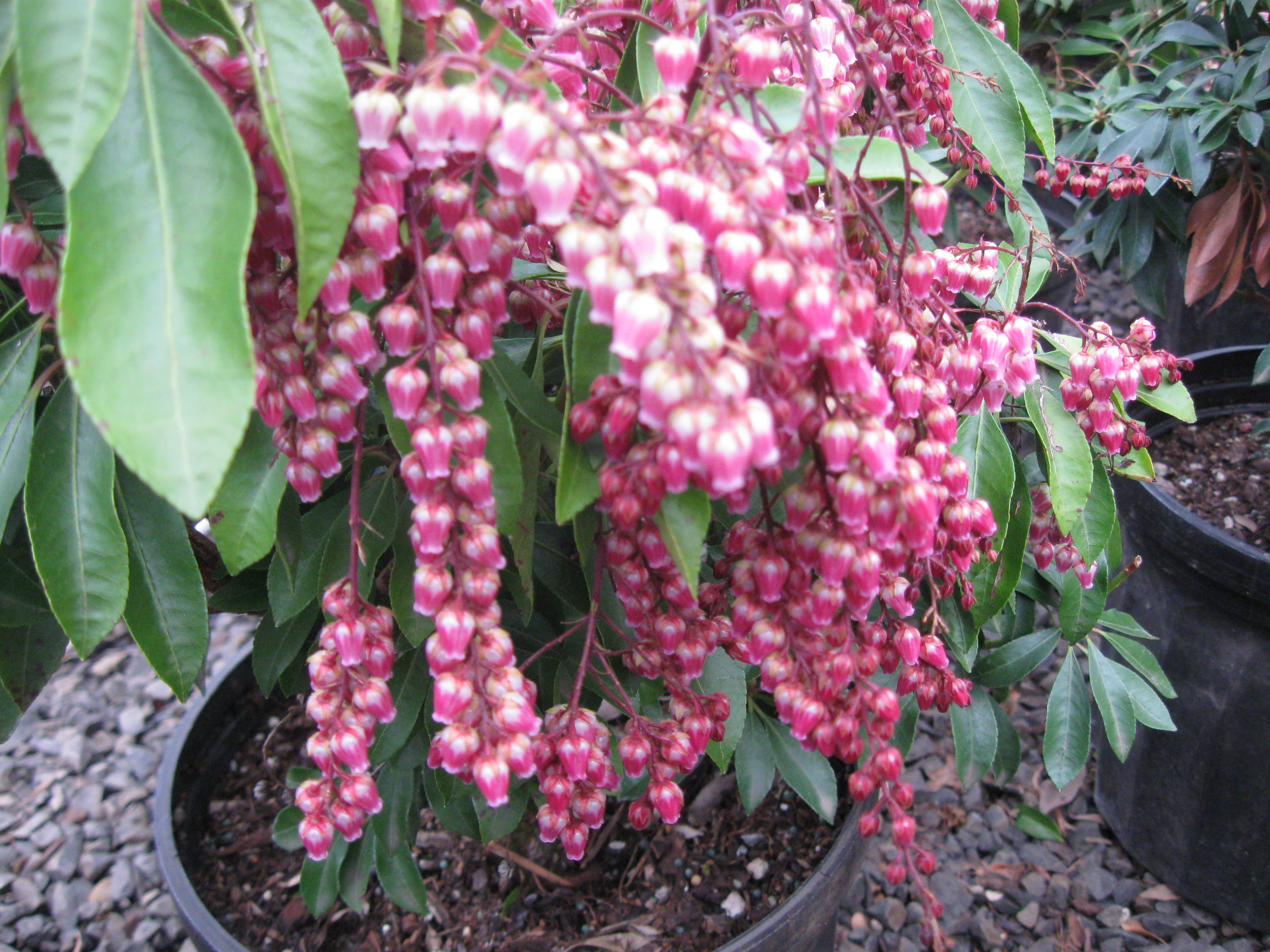 "Pieris J. ""Valley Rose"""