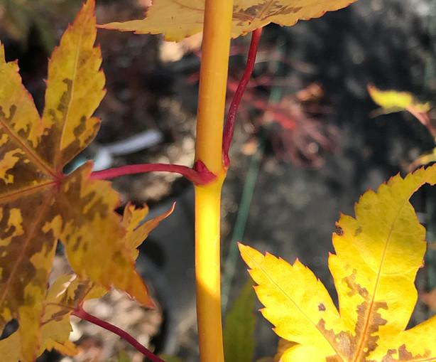 Acer P. 'Yellow Princess'