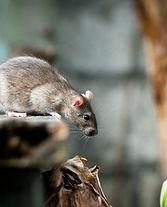 rodent control bermuda