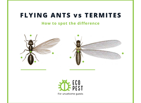 Flying Ants vs. Termites - How To Spot the Differences