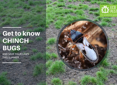 Get To Know Chinch Bugs...And Save Your Lawn This Summer