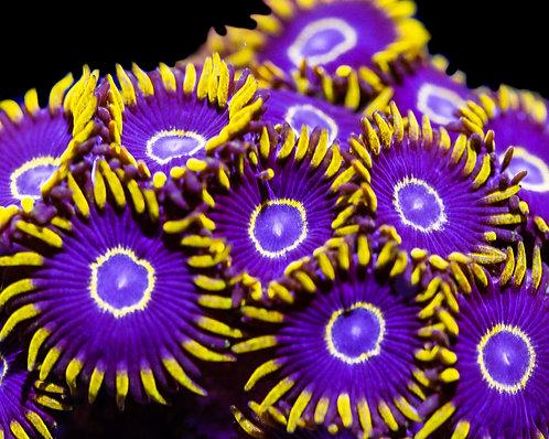OG Purple Hornets Zoanthids