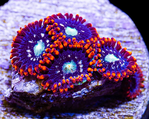 LC Twisted Metals Zoanthids