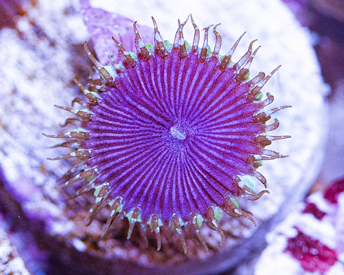 Blue Deaths Protopaly Zoanthids 1p, WYSIWYG