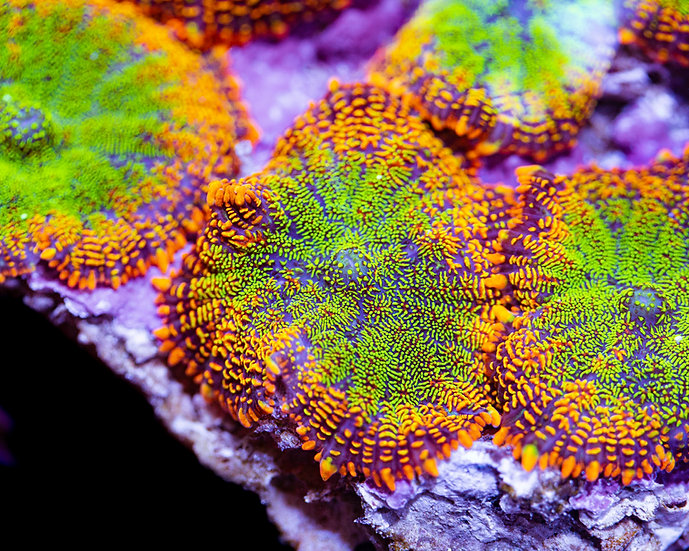 LC Maui Wowi Rhodactus Mushroom Coral