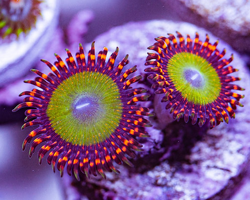 LC Extreme Candy Apple Zoanthids 2p, WYSIWYG
