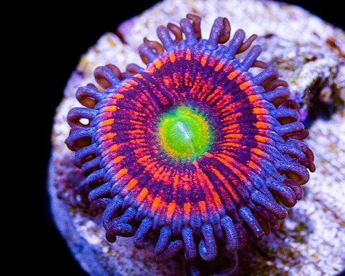Ultra Gobstoppers Zoanthids