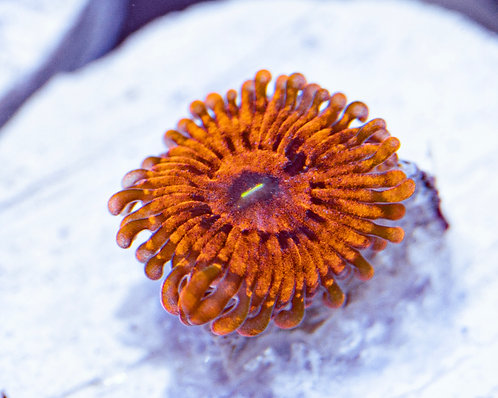 Flaming Mohicans Zoanthids 1p, WYSWIYG