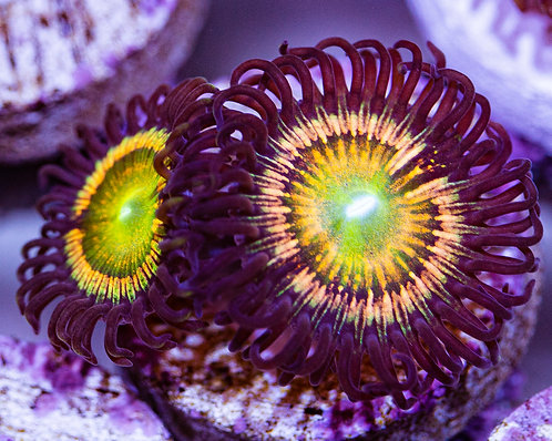 Gonzo's Citrus Coolers Zoanthids 2p, WYSIWYG