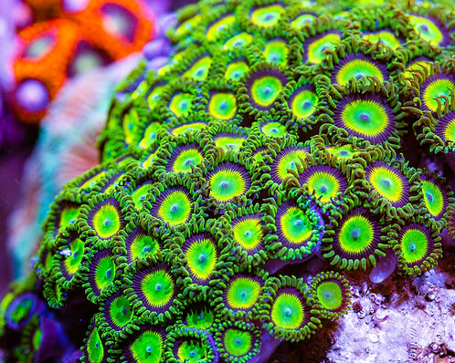 Hemmdog's Jeepers Creepers Zoanthids