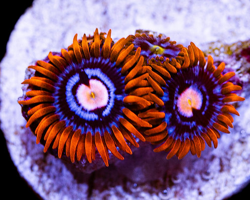 LC Tattle Tales Zoanthids